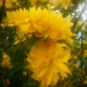 gele lentebloemen